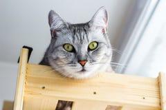 Χαριτωμένο portraitte της σκωτσέζικης γάτας που βρίσκεται στο ξύλινο ράφι στοκ εικόνες με δικαίωμα ελεύθερης χρήσης