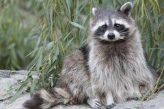 Χαριτωμένο racoon Στοκ εικόνες με δικαίωμα ελεύθερης χρήσης
