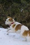 Χαρούμενο σκυλί που έχει τη διασκέδαση στο χιόνι Στοκ Εικόνα