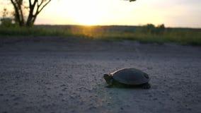 Χαρωπή χελώνα που βρίσκεται σε μια πάροδο χωρών στη μικρή λίμνη στο ηλιοβασίλεμα σε σε αργή κίνηση απόθεμα βίντεο