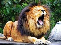 Χασμουρητά αρσενικά λιονταριών Στοκ φωτογραφία με δικαίωμα ελεύθερης χρήσης