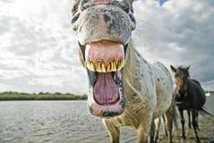 χασμουρητό αλόγων Στοκ εικόνα με δικαίωμα ελεύθερης χρήσης