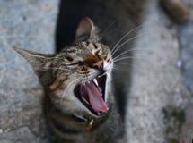 χασμουρητό γατών Στοκ εικόνα με δικαίωμα ελεύθερης χρήσης