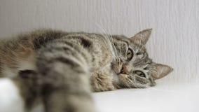 χασμουρητό γατών απόθεμα βίντεο