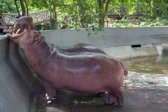 Χασμουρητό Hippo Στοκ Εικόνα