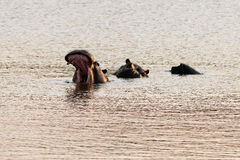 Χασμουρητό Hippopotamus Στοκ Εικόνα