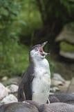 Χασμουρητό Penguin Στοκ εικόνα με δικαίωμα ελεύθερης χρήσης