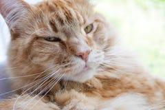 Χαλάρωση γατών Μαίην -Μαίην-coon Στοκ φωτογραφίες με δικαίωμα ελεύθερης χρήσης