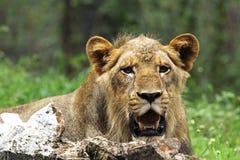 Χαλάρωση λιονταριών, πυροβολισμός κινηματογραφήσεων σε πρώτο πλάνο Στοκ Φωτογραφίες