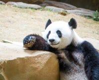 Χαλάρωση της Panda Στοκ Εικόνα