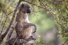 Χαλαρωμένος αστείος πίθηκος Στοκ φωτογραφίες με δικαίωμα ελεύθερης χρήσης