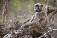 Χαλαρωμένος πίθηκος Στοκ Εικόνες