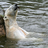 Χαλαρώνοντας πολική αρκούδα Στοκ Φωτογραφίες