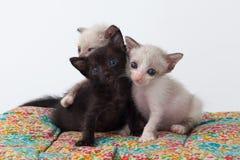 Χαλαρώστε το χαριτωμένο παιχνίδι γατών γατακιών ομάδας Στοκ Εικόνες
