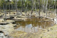 Χαλασμένα δάση - Αργεντινή - Ushuaia - Γη του Πυρός Στοκ φωτογραφία με δικαίωμα ελεύθερης χρήσης