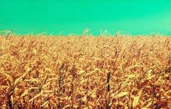 Χαλασμένο ξηρασία Cornfield: Κακώς αναπτυγμένος cornstalks παρουσιάστε τα αποτελέσματα του παρατεταμένου καυτού, ξηρού καιρού στοκ φωτογραφίες
