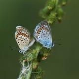 Χαλκός-πεταλούδα lat Lycaenidae Στοκ Φωτογραφίες