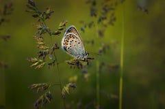 Χαλκός-πεταλούδα lat Lycaenidae Στοκ εικόνα με δικαίωμα ελεύθερης χρήσης