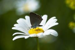 Χαλκός-πεταλούδα lat Lycaenidae Στοκ εικόνες με δικαίωμα ελεύθερης χρήσης