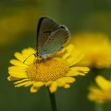 Χαλκός-πεταλούδα lat Lycaenidae Στοκ Εικόνες