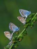 Χαλκός-πεταλούδα lat Lycaenidae Στοκ Εικόνα