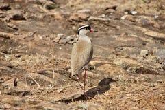 Χαλκός-φτερωτό courser πουλί Άποψη πίσω Στοκ Εικόνες