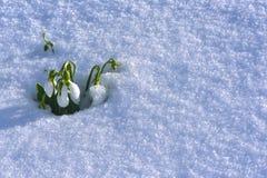 Χειμερινά λουλούδια ξυπνώντας χρόνος για το λουλούδι & πρότυπο για την πάλη Στοκ Φωτογραφίες