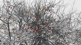 Χειμερινά μήλα Στοκ Εικόνες