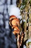 Χειμερινά μανιτάρια Flammulina velutipes, εδώδιμα μανιτάρια Στοκ εικόνα με δικαίωμα ελεύθερης χρήσης