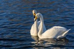 Χειμερινά πουλιά ζευγών λιμνών του Κύκνου Στοκ Εικόνα