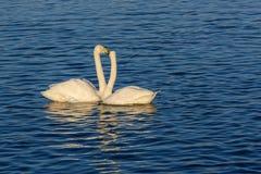 Χειμερινά πουλιά ζευγών λιμνών του Κύκνου Στοκ εικόνα με δικαίωμα ελεύθερης χρήσης