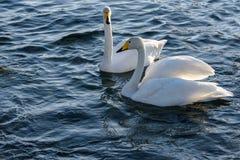 Χειμερινά πουλιά ζευγών λιμνών του Κύκνου Στοκ εικόνες με δικαίωμα ελεύθερης χρήσης