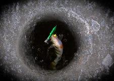 Χειμερινές πέρκες της Ρωσίας Αστραχάν που αλιεύουν το Δεκέμβριο το χρόνο Στοκ Εικόνες