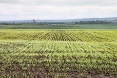 Χειμερινές συγκομιδές που φυτεύονται στις αγροτικές περιοχές Στοκ Φωτογραφία