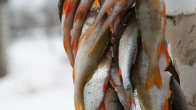 Χειμερινή αλιεία Αλιεία με τα κόκκινα πτερύγια που κρεμούν σε ένα σχοινί στη σειρά απόθεμα βίντεο