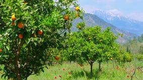 Χειμερινή αλλαγή, άνοιξη που έρχεται, πορτοκαλιά δέντρα πέρα από το χιονώδες υπόβαθρο βουνών φιλμ μικρού μήκους