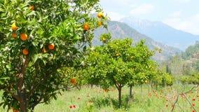 Χειμερινή αλλαγή, άνοιξη που έρχεται, πορτοκαλιά δέντρα πέρα από το χιονώδες υπόβαθρο βουνών απόθεμα βίντεο
