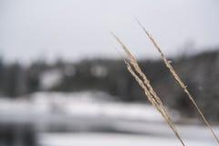 Χειμερινή σίκαλη στοκ εικόνες