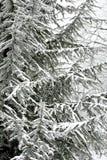 Χειμερινή σκηνή με τους παγωμένους κλάδους κωνοφόρων Στοκ Εικόνα