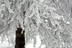 Χειμερινή σκηνή με τους παγωμένους κλάδους κωνοφόρων Στοκ εικόνες με δικαίωμα ελεύθερης χρήσης