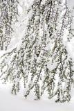 Χειμερινή σκηνή με τους παγωμένους κλάδους κωνοφόρων Στοκ Φωτογραφία