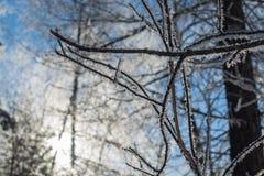 Χειμερινοί κλάδοι των δέντρων glint hoarfrost στον ήλιο Στοκ Εικόνες
