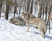 Χειμερινοί λύκοι Στοκ Φωτογραφίες