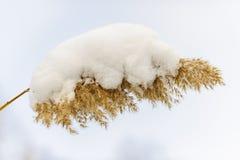 Χειμερινός κάλαμος κάτω από το χιόνι στοκ φωτογραφία