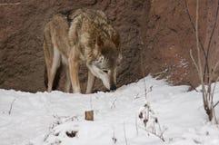 χειμερινός λύκος Στοκ φωτογραφία με δικαίωμα ελεύθερης χρήσης