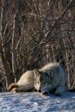 χειμερινός λύκος Στοκ Φωτογραφίες
