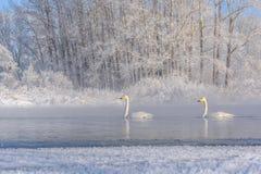 Χειμερινός παγετός ζευγών λιμνών κύκνων Στοκ Εικόνες