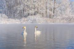 Χειμερινός παγετός ζευγών λιμνών κύκνων Στοκ εικόνα με δικαίωμα ελεύθερης χρήσης