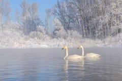Χειμερινός παγετός ζευγών λιμνών κύκνων Στοκ Εικόνα
