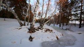 χειμερινός πληγωμένος δασικών δέντρων σημύδων φιλμ μικρού μήκους